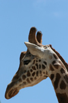 Australia - Adelaide (SA): head shot of a giraffe at the Zoo - photo by R.Zafar