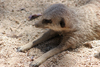 Australia - Adelaide (SA): meerkat enjoying the sun at the Zoo - Suricate suricatta - photo by R.Zafar