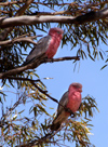 Hyden: Two Pink Cockatoos in Tree - photo by B.Cain