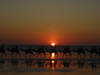 582 Western Australia - Broome - Cable Beach: camel caravan at sunset - photo by M.Samper)