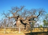 Australia - Derby (WA): baobab tree prison - photo by Luca dal Bo