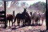 Australia - Cattle Station (NT): horse muster - photo by  Picture Tasmania/Steve Lovegrove