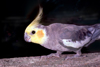 Australia - South Australia: Cockatiel, Nymphicus hollandicus (also known as the Quarrion and the Weero) - small Cockatoo - photo by G.Scheer