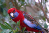 Australia - South Australia: Crimson Parrot - photo by G.Scheer
