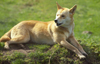 Australia - South Australia: Dingo or warrigal, Canis lupus dingo - wild dog - photo by G.Scheer