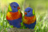 Australia - South Australia: Lorikeets - photo by G.Scheer