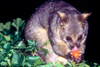 Australia - South Australia: Possum - photo by G.Scheer