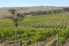 Australia - Middleton Winery, Currency Creek, South Australia: Vineyards - photo by G.Scheer