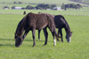 Australia - Fleurieu Peninsula, South Australia: Horses - photo by G.Scheer