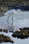 Australia - South Australia: White Egret hunting - photo by G.Scheer