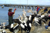Kingscote - Kangaroo Island (SA): hand-feeding the pelicans - photo by R.Eime