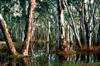 Grampians National Park, Victoria, Australia: trees in a swamp - eucalypti - photo by G.Scheer