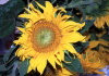 Austria - D�rnstein in der Wachau: sun-flower - Sonnenblume - Helianthus annuus (photo by F.Rigaud)