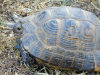 Sheki, Azerbaijan: tortoise on the outskirts of the town - photo by F.MacLachlan