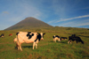 Azores / Açores - Pico - Ponta do Pico - Pico mountain: cows / vacas - photo by A.Dnieprowsky