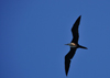 Belize City, Belize: female Magnificent Frigatebird in flight - Fregata magnificens - photo by M.Torres