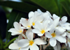 Belize City, Belize: frangipani flowers on Regent st - plumeria - photo by M.Torres
