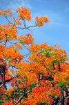 Belmopan, Cayo, Belize: Flamboyant tree - Royal Poinciana - Delonix regia - red Gulmohar flowers and seed pods - photo by M.Torres