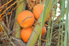 Belize - Caye Caulker: orange coconuts - photo by C.Palacio
