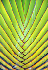 Belize City, Belize: Travellers Palm - Ravenala madagascariensis - Belize city airport - photo by M.Torres