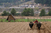 Bhutan - Bumthang valley - agriculture - working in the fields, outside Kurjey Lhakhang - photo by A.Ferrari