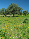 Bosnia / Bosnia / Bosnien - Olive grove - maslina - olive trees (photo by J.Kaman)