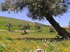 Bosnia / Bosnia / Bosnien - Olive trees and green fields (photo by J.Kaman)