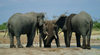 Chobe National Park, North-West District, Botswana: elephants drinking and playing - Loxodonta africana - photo by J.Banks