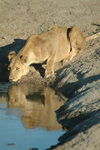 Chobe National Park, North-West District, Botswana: lioness drinking at pump pan - water hole - photo by J.Banks