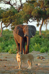 Chobe National Park, North-West District, Botswana: friends - elephant and lioness - photo by J.Banks