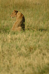 Chobe National Park, North-West District, Botswana: lioness keeping watch over the grassland - photo by J.Banks