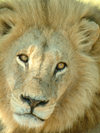 Okavango delta, North-West District, Botswana: lion - close up - Panthera leo- photo by J.Banks
