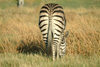 Okavango delta, North-West District, Botswana: zebra grazing - rear end - photo by J.Banks