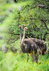Gaborone Game Reserve, South-East District, Botswana: female Ostriches in the woodland - Struthio camelus - a harem of three hens - photo by M.Torres