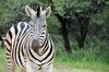 Gaborone Game Reserve, South-East District, Botswana: Burchell's Zebra, Equus quagga burchellii - the national animal of Botswana - photo by M.Torres