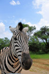 Gaborone Game Reserve, South-East District, Botswana: Burchell's Zebra - Plains Zebra - Common Zebra, Equus quagga burchellii - head view - ungulate - photo by M.Torres