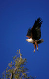 Okavango delta, North-West District, Botswana: African Fish Eagle alights on a branch - Haliaeetus vocifer - photo by C.Lovell