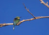 Okavango delta, North-West District, Botswana: a Little Bee-eater ruffles its feathers to dry off - Merops pusillus - near passerine bird - photo by C.Lovell