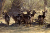 Okavango delta, North-West District, Botswana: a female herd of Waterbuck with their distinctive rump markings - Kobus Ellipsiprymnus - does - photo by C.Lovell