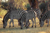 Okavango delta, North-West District, Botswana: a herd of Burchell's Zebra - dazzle - photo by C.Lovell
