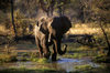 Okavango delta, North-West District, Botswana: an African Elephant walking across a marsh - Loxodanta Africana - photo by C.Lovell