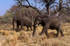 Okavango delta, North-West District, Botswana: two elephants move through a woodland - Loxodonta Africana - Moremi Game Reserve - photo by C.Lovell