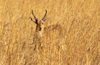 Okavango delta, North-West District, Botswana: a Southern Reedbuck blends perfectly with the tall grass it lives in- Redunca Arundinum - males with his ridged horns - photo by C.Lovell