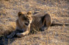 Okavango delta, North-West District, Botswana: resting young lion growls in the warm afternoon sun - Panthera Leo - Moremi Game Reserve - photo by C.Lovell