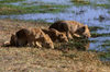 Okavango delta, North-West District, Botswana: young lions drink in the warm afternoon sun - Panthera Leo - Moremi Game Reserve - photo by C.Lovell