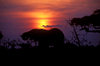 Chobe National Park, North-West District, Botswana: sunset - silhouette of an elephant drinking at a watering hole in the Savuti Marsh- photo by C.Lovell