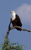 Chobe National Park, North-West District, Botswana: African Fish Eagle perched in a tree, surveying the horizon - Haliaeetus vocifer - photo by C.Lovell