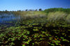Okavango delta, North-West District, Botswana: water lilies thrive in the waters of the Khwai River out of Xakanaxa - Moremi Game Reserve - photo by C.Lovell