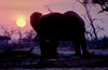 Chobe National Park, North-West District, Botswana: the sun sets behind a bull elephant drinking at a watering hole in the Savuti Marsh - photo by C.Lovell