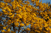 Brazil / Brasil - Dourados: Yellow Poui in blossom - flowers - ip� amarelo - Tabebuia serratifolia (photo by Marta Alves)